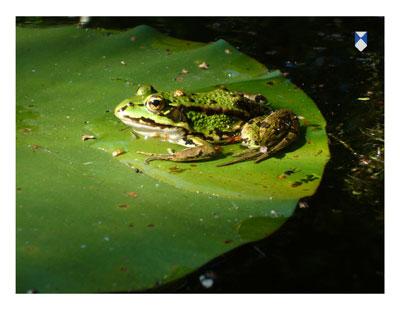 ansicht groene kikker