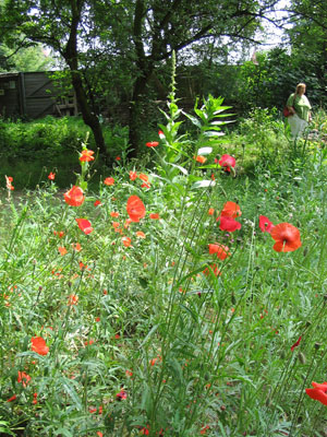 bloemenweide met o.a. klaprozen